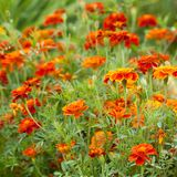 Bright flowers marigolds blooming in a summer park or in the garden. Beautiful bright flowers marigolds blooming on a flower bed in a summer park or garden stock photos