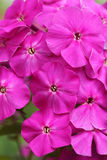 Bright flowers, Phlox Stock Photo