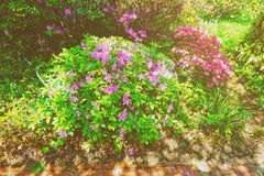Bright purple and pink bushes of flowers in park spring. Bright flowers photographed in Washington D.C., the United States. Plenty of flowers can be found near stock images