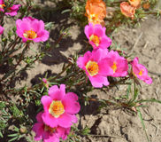 Bright flowers  - portulaca Stock Photos