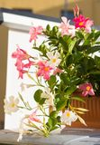 Bright flowers in a pot outdoors, close-up,vertical royalty free stock photo
