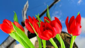 Bright flowers of red tulips straighten and open their petals. Time lapse. On the background of an old mill and  sky. The blured blades of the mill rotate stock footage
