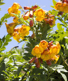 Bright flowers of Tecoma stans  Yellow Trumpet Bush. Royalty Free Stock Photos