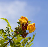 Bright flowers of Tecoma stans  Yellow Trumpet Bush. Stock Photo