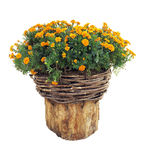 Bright flowers in wicked basket on cut log isolated over white Royalty Free Stock Photos
