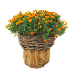Bright flowers in wicked basket on cut log isolated over white. Background royalty free stock photos