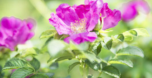 Bright flowers of the wild rose Stock Images