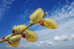 Willow blooms and sky. Royalty Free Stock Image