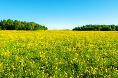 Bright flowers of a yellow dandelion in a field. Stock Images