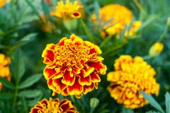 Bright flowers yellow-and-red marigolds on green blurred background. Stock Photo
