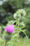 Bright fluffy purple thistle flower Royalty Free Stock Photos