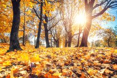 Bright foliage in autumn park. Bright foliage in sunny autumn park Royalty Free Stock Images