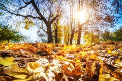 Bright foliage in autumn park. Bright foliage in sunny autumn park Stock Images