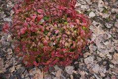 Dwarf nandina domestica shrub. Bright foliage of dwarf nandina domestica, fire power stock images