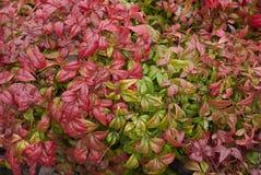Dwarf nandina domestica shrub. Bright foliage of dwarf nandina domestica, fire power royalty free stock images