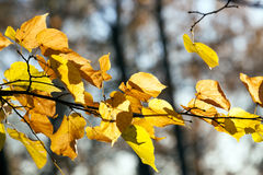 Bright foliage limes. Yellowed and bright sunlight illuminated linden foliage in the autumn season. Photo taken closeup. Blue sky in the background Stock Image
