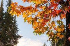 Bright autumn foliage. Bright foliage of liquidambar in autumn day Stock Photos