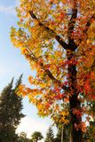 Bright foliage of liquidambar. In autumn day Royalty Free Stock Photos