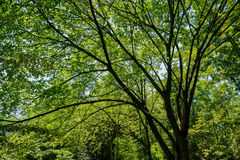 Bright foliage of old tree in sunny summer sky Royalty Free Stock Images