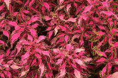 Bright Foliage. Bright pink and green variegated foliage Stock Photos