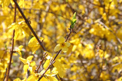 Bright Forsythia Flowers in Spring. Att inspector: You don't have many close-ups of a Forsythia flower. Forsythia flowers in spring shot with shallow dof Stock Image
