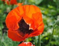 Bright, fragile poppy flower – Papaver orientale Royalty Free Stock Image