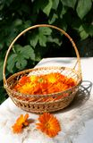Bright fresh calendula flowers in a basket. Bright fresh orange calendula flowers in a basket on a white linen napkin arranged by two flowers bulbs, blur Stock Photo