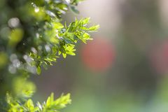 Bright fresh green decorative boxwood bush brunch on blurred colorful copy space background. Gardening art and agriculture concept.  stock image