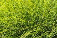 Bright Fresh Green Grass Texture Background. Bright blades of grass texture background Royalty Free Stock Photo