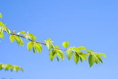 Bright fresh green leaves Royalty Free Stock Photo