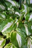 Bright fresh green and white leaves of hosta Hosta undulata royalty free stock photography