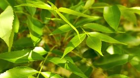 Bright fresh leaves on wind close-up, spring tree twigs sunlit stock video