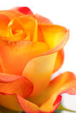 Bright fresh orange rose close up isolated Royalty Free Stock Photo