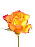 Bright fresh orange rose isolated Royalty Free Stock Photos