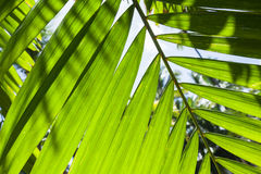 Bright fresh palm tree leaves, macro photo Royalty Free Stock Photo