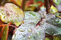 Bright fresh raindrops sitting on rose petals. Multi-colored nuances of plant leafs after a summer rain, raindrops sitting on the leafs Royalty Free Stock Photos