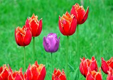 Bright fresh red tulips bloom in the spring flowerbed, spring flowers.  royalty free stock photos