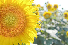 Bright fresh sunflower in the field . Stock Photography