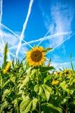 Bright fresh sunflower Stock Images