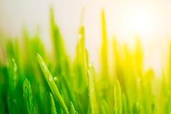 Bright fresh vibrant spring green grass close-up with some rain drops under bright warm sun light.  Stock Photo