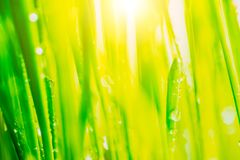 Bright fresh vibrant spring green grass close-up with some rain drops under bright warm sun light.  Stock Photos
