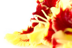 Bright fresh yellow and red gladiolus isolated  horizontal Royalty Free Stock Photos