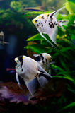 Bright freshwater background with pterophyllum fishes in aquarium. Bright freshwater background with pterophyllum fishes. Underwaterlife background Royalty Free Stock Photo