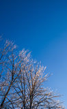 Bright frozen trees on clear sky. Stock Image