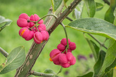 Bright fruit euonymus in September Stock Image