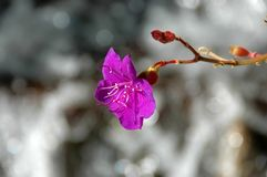 Bright Fuchsia color flower on bokeh background. With buds on the stem stock photography