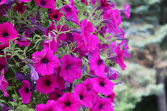 Bright fuchsia colored petunias. With a blurred green background Royalty Free Stock Images