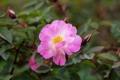 Bright fuchsia pink rose flower buds on the bush. Poppius. Winter-resistant roses: thorny rose or Rosehip feminine, Bibernellrose. bright fuchsia pink rose stock photo