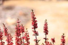 Bright fuchsia pink scarlet bugler flowers Royalty Free Stock Photos