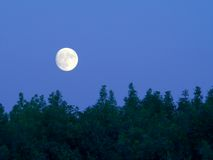 Bright full moon over trees at dusk. A stark white full moon with amazing detail hovers over a forest at dusk Stock Image